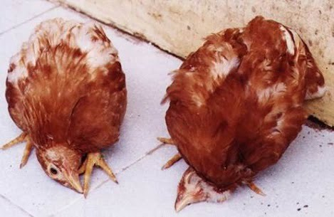 Phòng bệnh Niucatxơn ở gà trong vụ thu đông