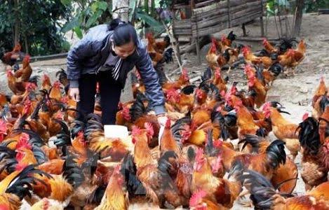 Giá gà thả vườn tăng mạnh
