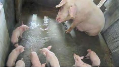Biện pháp khắc phục hiện tượng lợn mẹ cắn con, không cho con bú