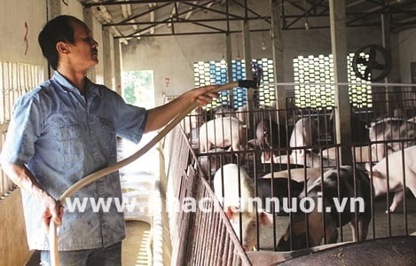 Thành công với mô hình nuôi lợn sạch từ thảo dược