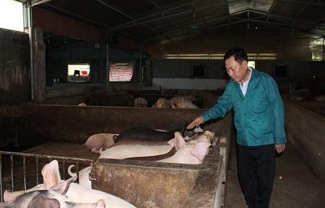 Độc đáo trang trại lợn sạch nuôi bằng thảo dược và giun quế