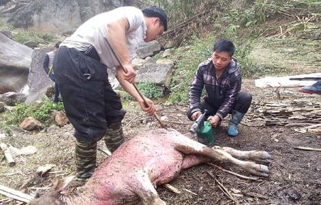 Lào Cai: Toàn tỉnh thêm 69 con gia súc chết rét