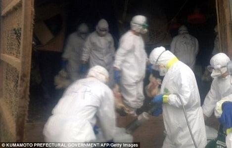 Nhật Bản tiêu hủy gia cầm nhiễm cúm