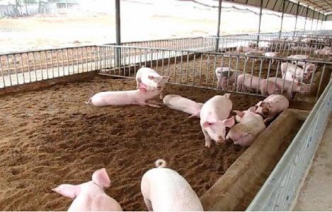 Kỹ thuật làm đệm lót lên men trong chăn nuôi lợn
