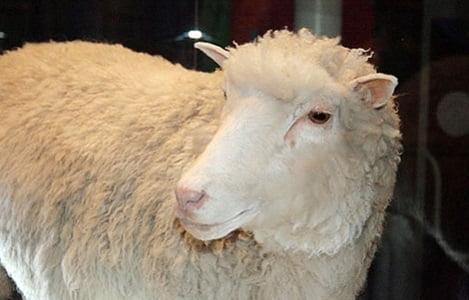 Thực phẩm từ động vật nhân bản vô tính an toàn