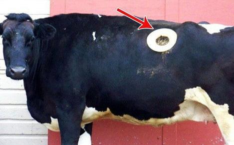 Đục lỗ trên thân bò - công cụ chăn nuôi tuyệt vời hay minh chứng cho sự quá đáng của con người?
