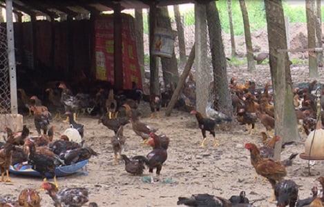 Mô hình chăn nuôi gà thả vườn: Cho thu nhập ổn định