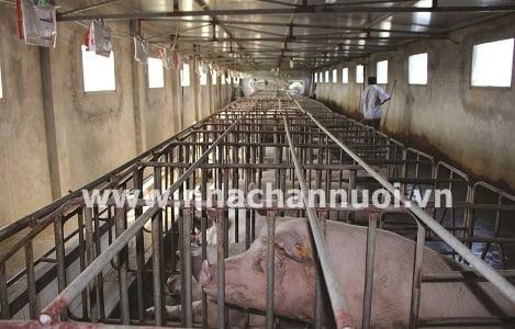 Nam Định: Xây dựng vùng, cơ sở nuôi lợn ATDB hướng tới xuất khẩu