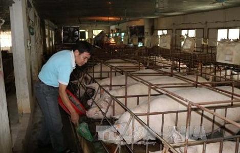 Vĩnh Phúc: Giá lợn hơi tăng cao