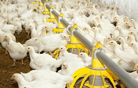 7 lưu ý trong chăn nuôi không kháng sinh, chưa tính đến chất phụ gia