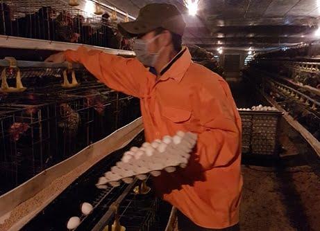 Cầu kỳ trang trại nuôi gà hướng tới đẻ trứng Omega 3