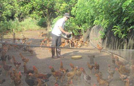 Đồng Nai: Gần tết, giá gà ta giảm hơn 10 ngàn đồng/kg