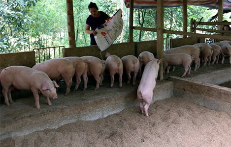 Giải pháp quản lý và khắc phục môi trường trong chăn nuôi