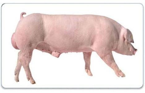Hệ thống giống lợn Việt Nam