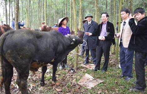 Liên kết trong chăn nuôi bò 3B: Lợi ích kinh tế cao