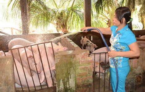 Bà Rịa - Vũng Tàu: Giá heo tăng, người nuôi đã có lãi