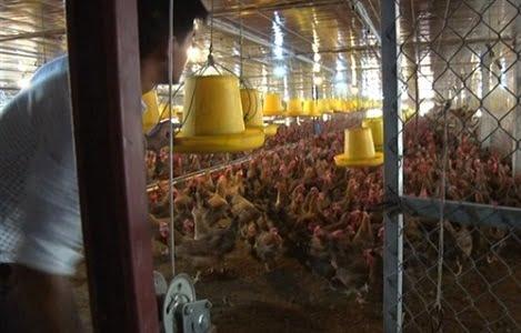 Ứng dụng công nghệ sinh học nuôi gà đẻ trứng, lãi trên 700 triệu đồng/năm
