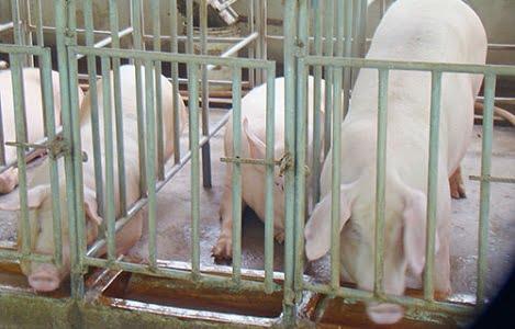 Bình Thuận: Heo hơi tăng giá, người nuôi có lãi