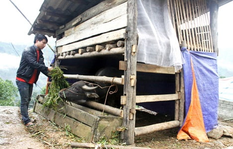 Lào Cai: Gia súc chết rét thiệt hại hơn 7 tỷ đồng