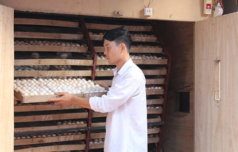Ấp trứng vịt lộn, một thôn thu gần 200 tỷ đồng mỗi năm