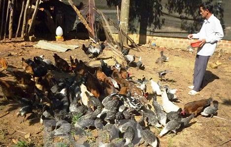 Bình Định: Một gia trại nuôi các giống gà quý hiếm