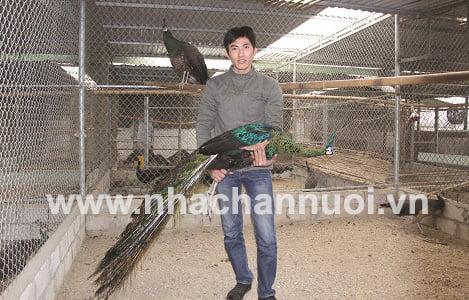 Chàng kỹ sư làm giàu từ chim công