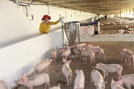 Đà Nẵng: Làm giàu từ mô hình chăn nuôi heo gia công