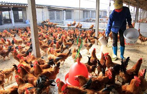Thái Nguyên: Giá bán sản phẩm chăn nuôi duy trì ở mức cao