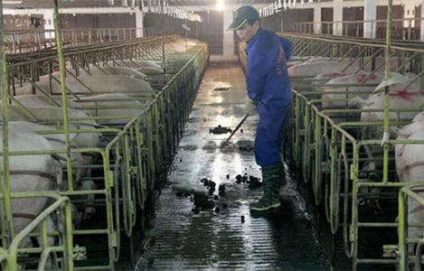 Phạt 2 DN chăn nuôi gần 1 tỷ đồng vì xả thải vượt ngưỡng