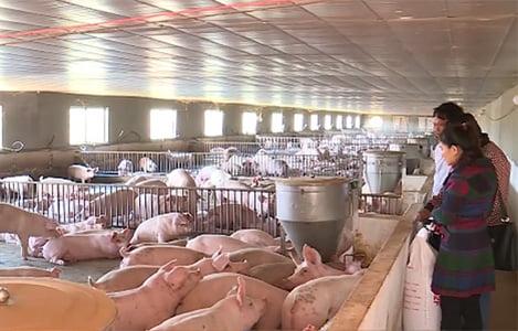 Hơn 50% trang trại nuôi lợn ở Đồng Nai bỏ trống chuồng