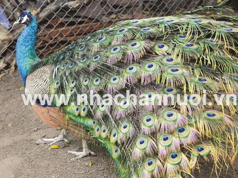 Khởi nghiệp: Nuôi chim công thu nhập 200 triệu đồng mỗi năm