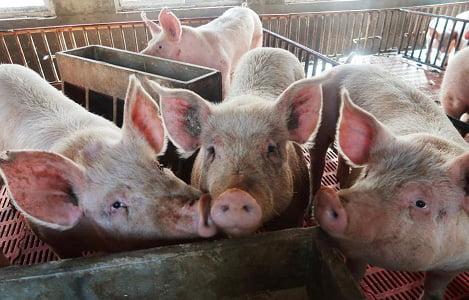 Ngành chăn nuôi heo Trung Quốc tiếp tục phục hồi