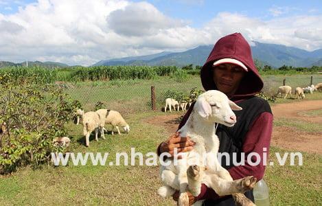 Nuôi cừu ở nơi thiếu mưa, thừa nắng...