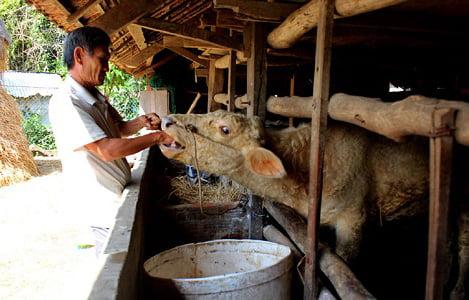 Phú Yên: Tập trung khống chế, xử lý dịch bệnh lở mồm long móng trên bò