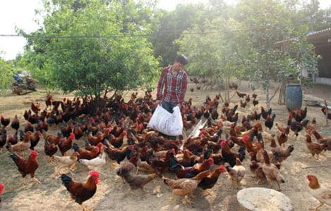 Quảng Ninh: Nuôi gà leo cây, thu lãi hàng trăm triệu