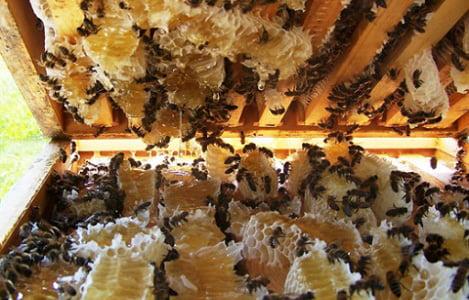 Tập tính chia đàn và giao phối của ong chúa Apis cerena tại Thái Nguyên