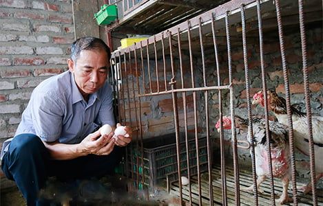 Thụ tinh nhân tạo để bảo tồn giống gà Hồ