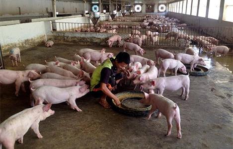 Tình hình chăn nuôi cả nước tháng 3/2018