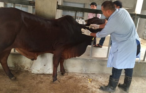 Bệnh tụ huyết trùng trâu bò và cách phòng trị
