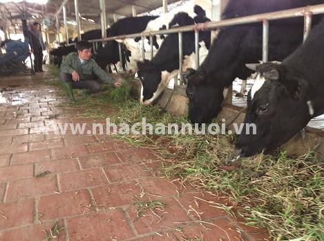 Đàn bò sữa nước ta phát triển mạnh