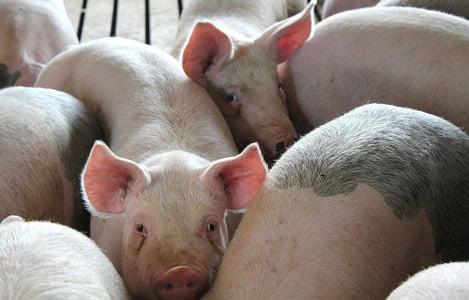 Cơ hội nào cho Việt Nam khi Philippines tăng nhập khẩu thịt heo?