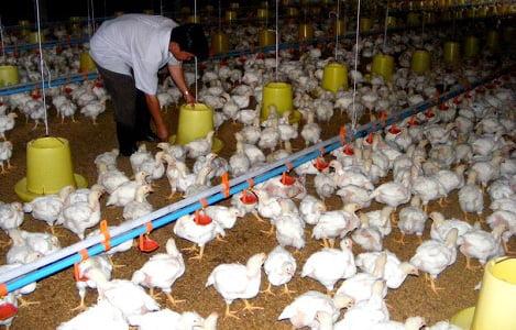 Thái Nguyên: Cập nhật dữ liệu được 301 trang trại, cơ sở chăn nuôi gia cầm