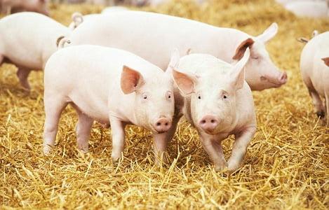 Mỹ đối mặt với khủng hoảng thịt heo khi nguồn cung đạt kỷ lục trong tháng 6