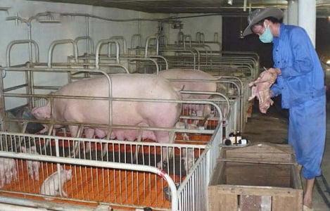 Hà Tĩnh: Tổng đàn lợn thịt vượt 3 lần quy mô được chấp thuận đầu tư