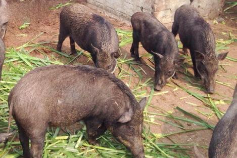 """Hà Tĩnh: Vợ chồng trẻ nuôi lợn rừng, thu lãi """"khủng"""""""