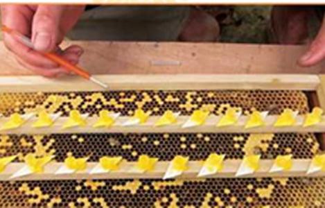 Kỹ thuật nuôi ong mật (ong nội- Apis cerana)