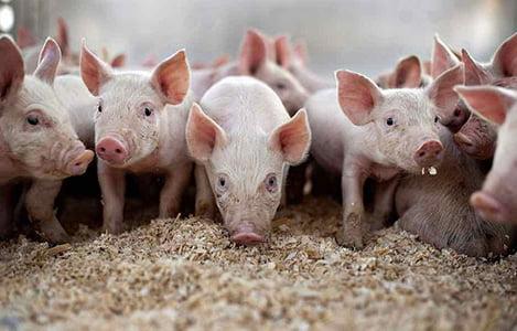 Ngành chăn nuôi heo hơi tại Trung Quốc đang diễn biến ra sao?