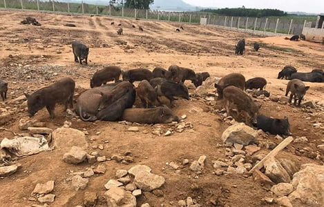 Nghệ An: Nông dân miền núi lãi hàng trăm triệu nhờ nuôi lợn bán hoang dã