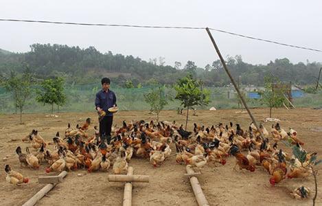 Nghệ An: Loay hoay đầu ra sản phẩm chăn nuôi VietGAP