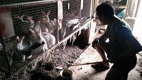 Nuôi thỏ newzealand trên quê hương '5 tấn', lãi gấp 10 lần nuôi vịt